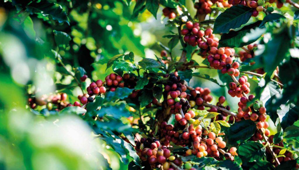 plantas-cafe